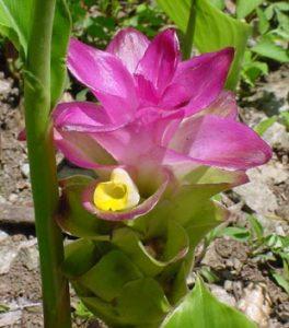 immagine-fiore-curcuma